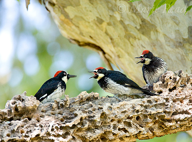 Acorn Woodpeckers (Melanerpes formicivorus), interaction between adult (L) and two young males (age ID by eye color), begging, Santa Barbara County, California, USA