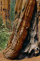 Giant sequoia and mountain dogwood <br />