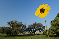 Common Sunflower (Helianthus annuus), blooming in field, Dinero, Lake Corpus Christi, South Texas, USA