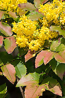 Gewöhnliche Mahonie, Stechdornblättrige Mahonie, Mahonia aquifolium, Berberis aquifolium, Oregon Grape, Oregon-grape, Mahonia faux-houx, Mahonia à feuilles de houx