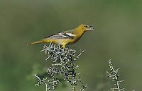 Baltimore Oriole, Icterus galbula,female eating berry from Lotebush (Ziziphus obtusifolia) , Starr County, Rio Grande Valley, Texas, USA, May 2002