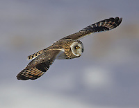 Short-eared Owl flying while hunting for food