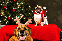 Snickers and Franklin (l or r?) are photographed at a Muttmixer holiday party thrown by City Dog magazine in Seattle, WA on December 09, 2010. (photo by Karen Ducey)