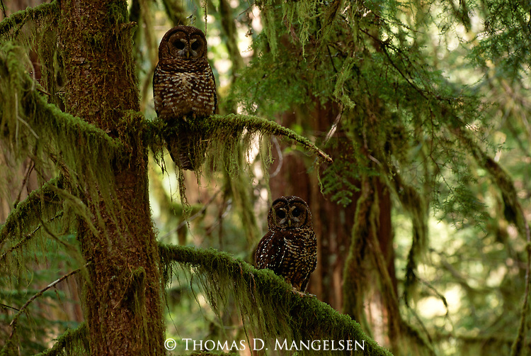 Northern Spotted Owl pair perched in a moss covered tree in Oregeon.