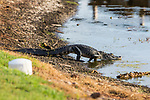HOWEY IN THE HILLS, FL - MAY 11: An American Alligator slips into a water hazard at the Mission Inn Resort. The Claremont Mudd Scripps wins the team and individual (Margaret Loncki) First Place Championships during the Division III Women's Golf Championship held at the Mission Inn Resort & Club on May 11, 2018 in Howey-In-The-Hills, Florida. (Photo by Matt Marriott/NCAA Photos via Getty Images)