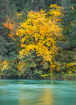 Umpqua National Forest, OR: Big leaf maple in fall along the shore of the North Umpqua River