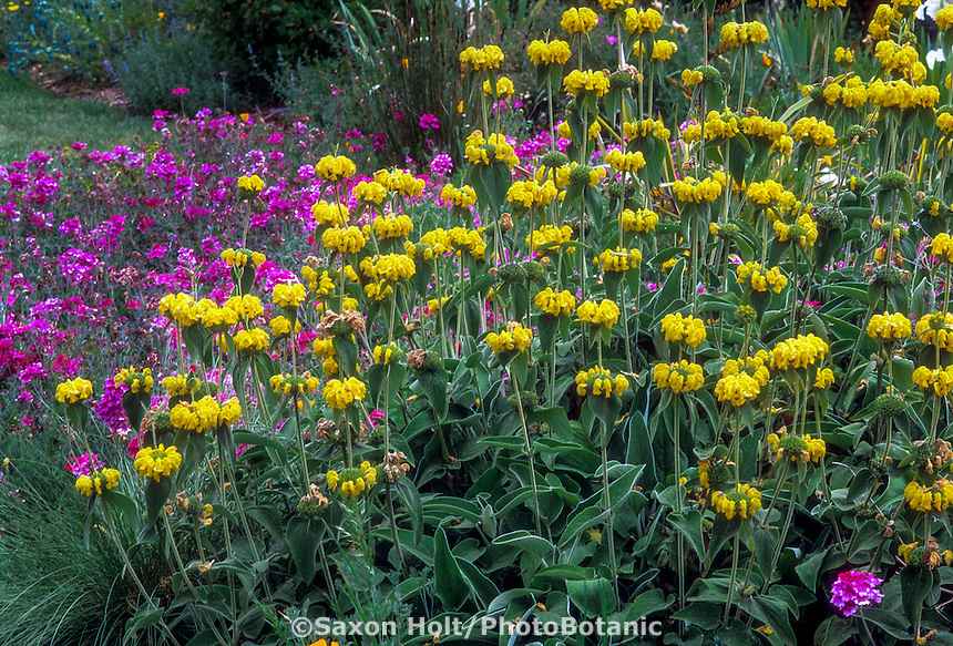 Phlomis fruticosa (Jerusalem Sage), yellow flowering, drought tolerant shrubby perennial in garden