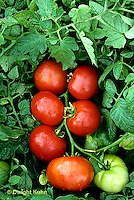 HS09-028d  Tomato - Oregon spring variety