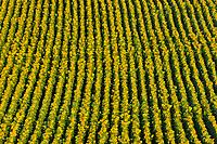 pattern of sunflowers on hillside