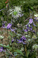 Clematis integrifolia in purple bell-like flowers and fluffy seedheads