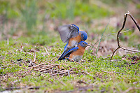 Territorial fight between two male Bluebirds, Lumberton, New Jersey