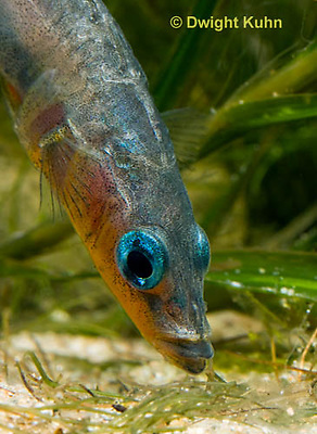 1S14-784z   Male Threespine Stickleback, Mating colors showing bright red belly and blue eyes, close-up of face, Gasterosteus aculeatus,  Hotel Lake British Columbia.
