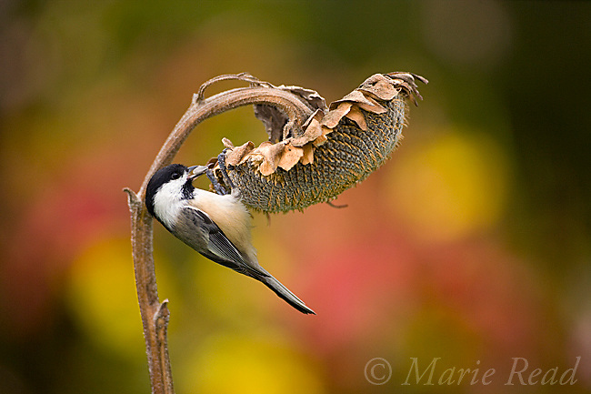Black-capped Chickadee (Poecile atricapilla) taking seed from sunflower seedhead in autumn, New York, USA