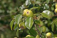 Wilde Birne, Frucht, Früchte, Wildbirne, Wilder Birnbaum, Holzbirne, Holz-Birne, Pyrus pyraster, Wild Pear, fruit, Poirier sauvage