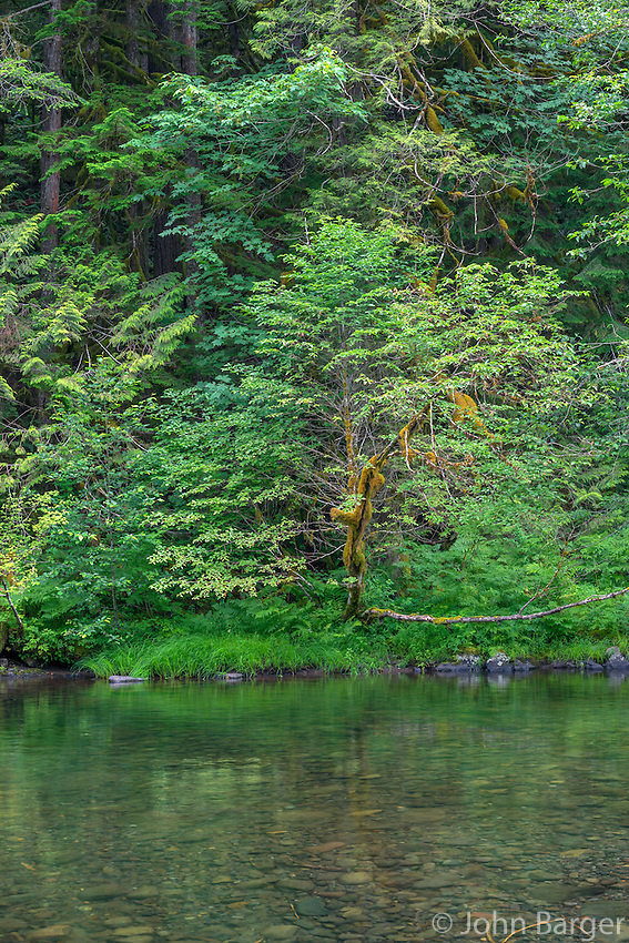 ORCAN_D169 - USA, Oregon, Mount Hood National Forest, Salmon-Huckleberry Wilderness, Lush spring forest and the Salmon River - a federally designated Wild and Scenic River.