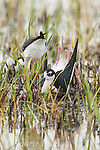 Black-necked Stilt (Himantopus mexicanus) pair building nest in shallow wetland, male in foreground in squatting and pushing backwards with his feet/legs  to form a nest scrape in vegetation the pair has gathered, Bear River Migratory Bird Refuge, Utah, USA (Digitally retouched - male's bill)
