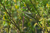 339430034 a wild teneral female common green darner anax junius perches on a plant stem in modoc national wildlife refuge california