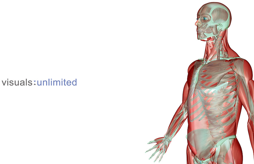 An anterolateral view (left side) of the musculoskeleton of the upper body. Royalty Free