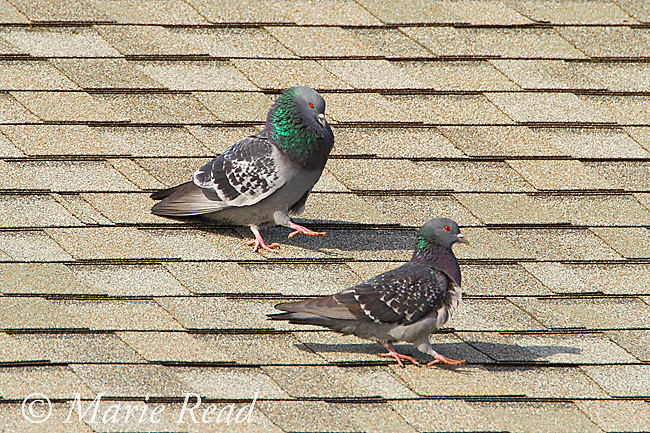 Rock Pigeons (Columba livia) pair walking along roof with male (L, upper) performing courtship display to female, New York, USA