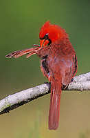 Northern Cardinal, Cardinalis cardinalis,male preening, Willacy County, Rio Grande Valley, Texas, USA