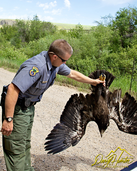 Juvenile Bald Eagle rescue, Swan Valley, Idaho. Shane Liss and Brain Jack