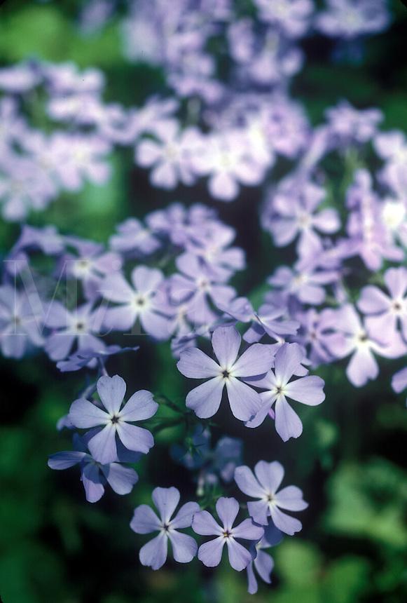 Meadow Phlox or Wild Sweet William (Phlax Maculata)