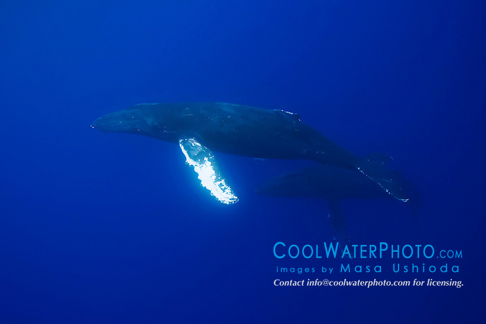 Humpback Whales in courtship, Megaptera novaeangliae, Hawaii, Pacific Ocean.