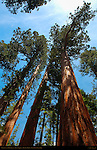 Bachelor and Three Graces, Crown Detail, Giant Sequoia, Sequoiadendron giganteum, Mariposa Grove of Giant Sequoias, Yosemite National Park