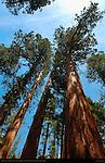 Bachelor and Three Graces, Crown Detail, Giant Sequoia, Sequoiadendron giganteum, Mariposa Grove of Giant Sequoias, Yosemite National Park