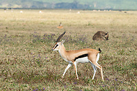 Thomson's Gazelle, Eudorcas thomsonii, walks past a Spotted Hyena, Crocuta crocuta, in Ngorongoro Crater, Ngorongoro Conservation Area, Tanzania