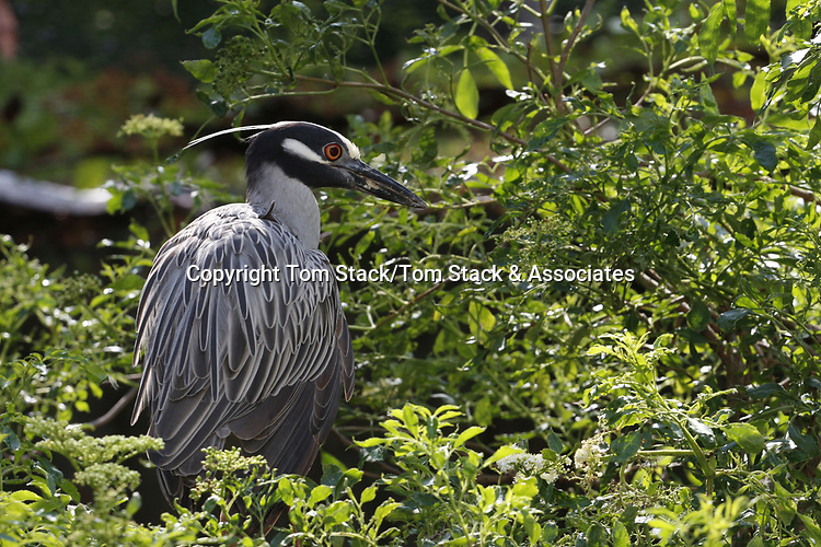 Yellow-crowned night heron, Nyctanassa violacea, in breeding plumage on nest.