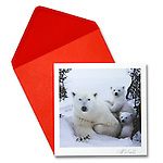 Polar bear &amp; cubs<br /> 6.5&quot; x 6.5&quot; Exceptional, framing-quality square card with color-coordinated envelope.<br /> <br /> Embossed with signature, printed on watercolor paper. Watermark does not appear on product.