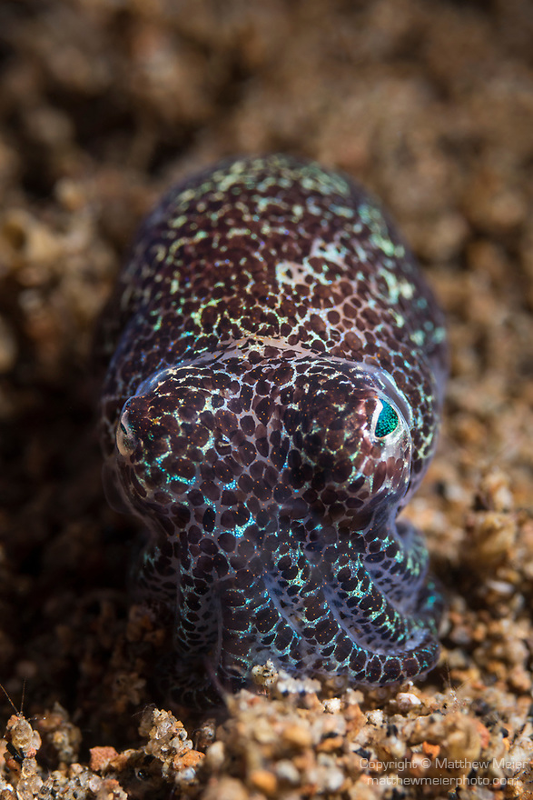 Dumaguete, Dauin, Negros Oriental, Philippines; a bobtail squid (Euprymna berryi) hovering over the muck during a night dive