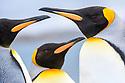 Close up study of adult king penguins (Aptenodytes patagonicus). Salisbury Plain, South Georgia, South Atlantic.