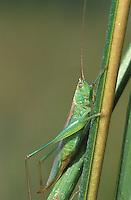 Saltmarsh Katydid; Conocephalus spartinae; ; female;  NJ, Delaware Bay