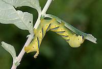 Death's Head Hawkmoth Larva - Acherontia atropos