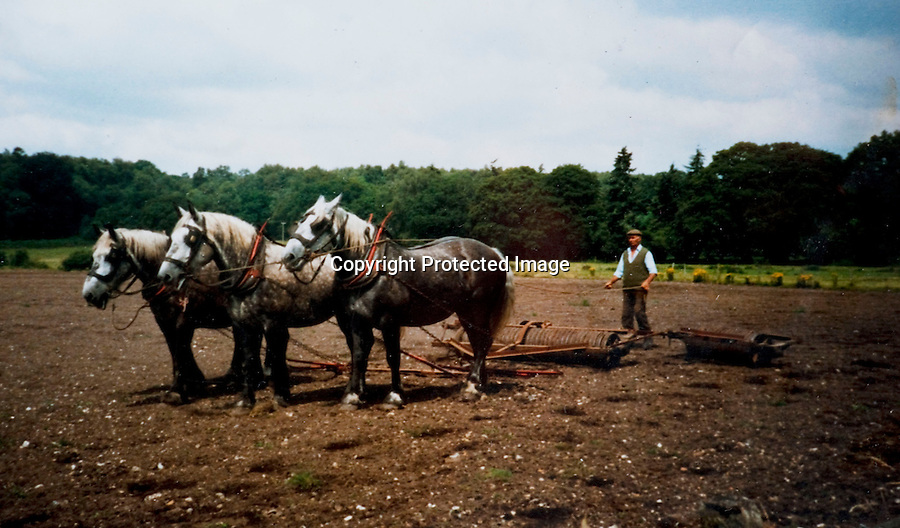 BNPS.co.uk (01202 558833)<br /> Pic: Phil Yeomans/BNPS<br /> <br /> Timeless - Roberts father Tom Ploughing the land in the late 60's.<br /> <br /> Old fashioned farmer Robert Sampson is turning back the clock on his  acre plot at Harbridge, near Ringwood in Hampshire.<br /> <br /> Despite his tractor giving up the ghost last year Robert has managed to plough 20 acres, roll 60, and harrow 100 all with the help of traditional horse power from his 18 Percheron heavy horses.<br /> <br /> The sight of him at work using long forgotten methods frequently stops the traffic and he is often interupted to explain to passers by delighted to see horses working the fields of England once more.<br /> <br /> Although it takes him three times as long to till the land as it would with a tractor Robert maintains the economic benefits as well as his enjoyment more than make up for the slightly slower progress.<br /> <br /> Robert is a fifth generation farmer on the farm which his family have worked with horses since 1885.