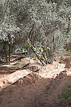 Irrigated land with olive trees, Tinerhir, Morocco, north Africa