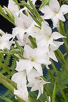 Gladiolus 'Alba' white flowers