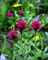 Scarlet Paintbrush (castilleja miniata)actually comes in many shades of red. On Mount Washburn, they are a deep and beautiful crimson.