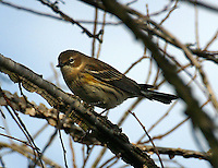 First winter female myrtle yellow-rumped warbler