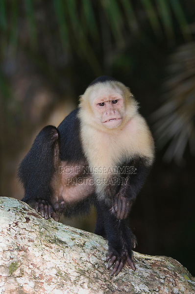 White-faced Capuchin, Cebus capucinus, adult on palm tree, Manuel Antonio National Park, Central Pacific Coast, Costa Rica, Central America, December 2006