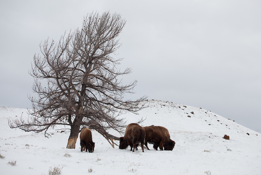 Three buffalo search for grasses to eat in the snow near an dead tree in Yellowstone National Park.