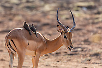 africa, Zambia, South Luangwa National Park, impala with birds resting on his back