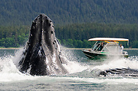 humpback whales, Megaptera novaeangliae, co-operatively bubble-net feeding near whale watching boat, note the herring jumping to get away inside the whales mouth,, Stephen's Passage, Alaska, USA, Pacific Ocean