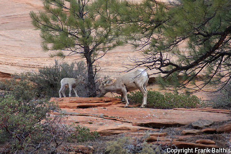 Bighorn sheep ewe and lamb, Zion National Park
