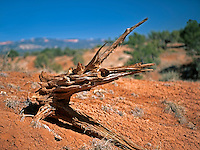 A fanciful name for a piece of dried juniper root that resembles a sea creature