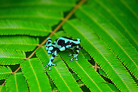 Green and black poison dart frog, Green-and-black poison dart frog or Green and black poison arrow frog, and sometimes called a Mint Poison Frog (Dendrobates auratus) found in Central American and northern South American tropical rainforests. This one photographed in Costa Rica.
