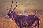 African wildlife, Waterbuck, in Nakuru National Park, Kenya, portrait