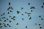 Austral Parakeet (Enicognathus ferrugineus) flock flying, Patagonia, Chile